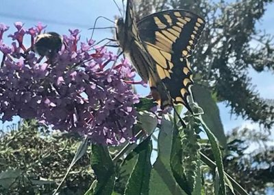Swallowtail buttrefly